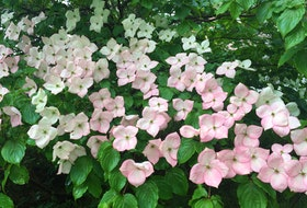 Kousa dogwood is a popular small tree with flowers that emerge in late spring and last for about four weeks. In late summer the bright red berries ripen and can be enjoyed by the gardener or the birds.