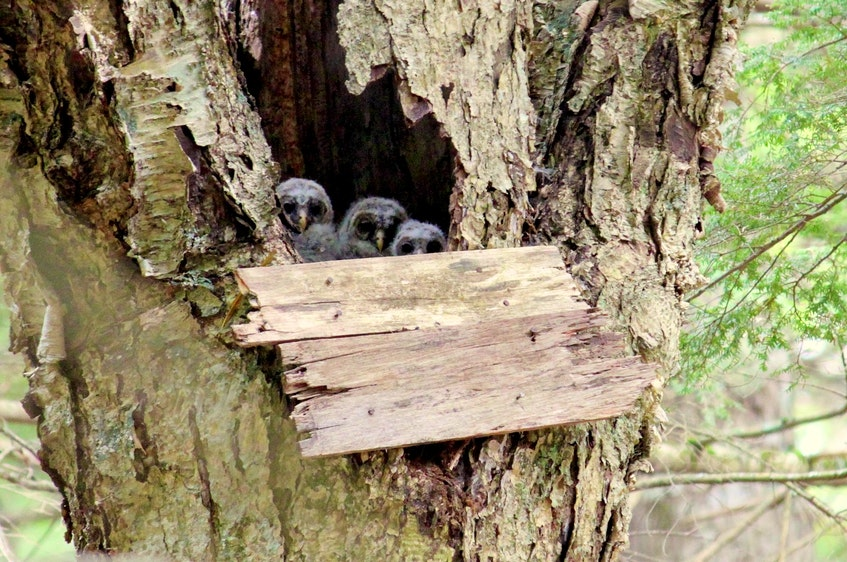 Bernard Forsythe secured the home front with boards after returning the grounded owlets to the nest. - Contributed