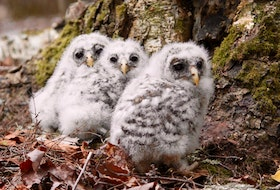 Kids directed to 'get outside and play' happened upon these grounded owlets in mid-May. Luckily, this Annapolis Valley family knew just what to do. - Contributed