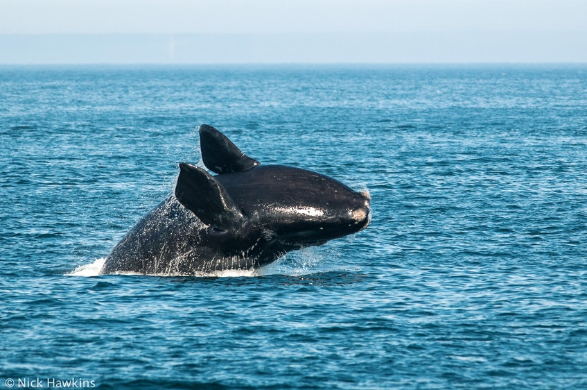 A North Atlantic right whale breaches in the Bay of Fundy. NICK HAWKINS/Contributed - Saltwire network