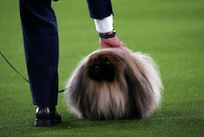 Wasabi, a Pekingese, is presented by his owner and handler David Fitzpatrick of East Berlin, Penn., before winning the Best in Show at the 145th Westminster Kennel Club Dog Show at Lyndhurst Mansion in Tarrytown, N.Y., June 13, 2021.