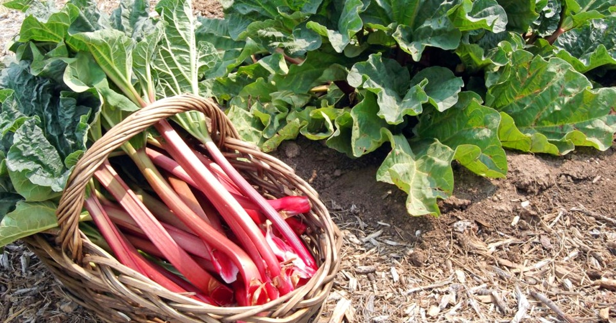 CINDY DAY: Roll out the rhubarb   Saltwire