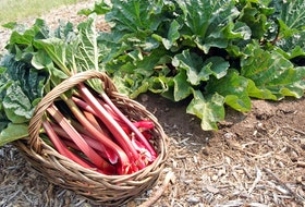 Rhubarb looks like celery, but to many it's a lot tastier - especially in pies, muffins and other desserts. It's commonly mixed with strawberries to balance its sour-bitter flavour. How do you use rhubarb?