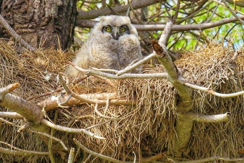 Jennifer MacDonald of Port Morien in Cape Breton sent this photo of a baby owl. Baby owls, or owlets, do not usually leave the next for long and cannot completely care for themselves. As they get older, they will explore around their nesting area. Parent owls are very protective of their owlets. Birders should always be cautious when watching owlets and keep their distance.