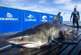 This 4.3-metre long, 942-kilogram great white shark, named Unama'ki, was caught and tagged off Cape Breton's Scatarie Island on Sept. 20, 2019. Contributed • Ocearch