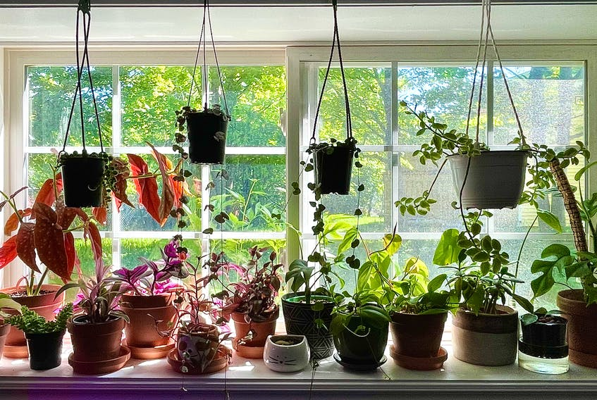 The windowsill above where Megan Barnes taught music from home during the pandemic is now filled with plants. the St. John's woman says she now has about 100 house plants.