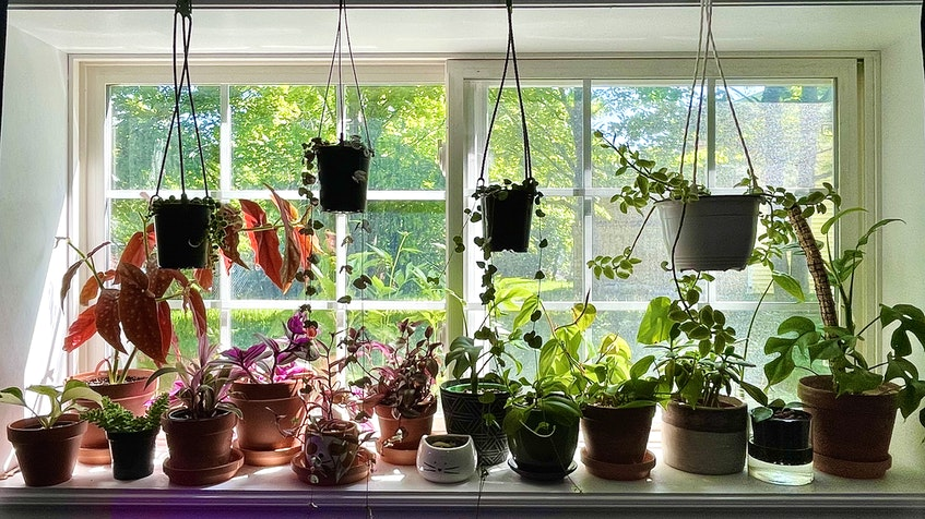 The windowsill above where Megan Barnes taught music from home during the pandemic is now filled with plants. the St. John's woman says she now has about 100 house plants. - Contributed