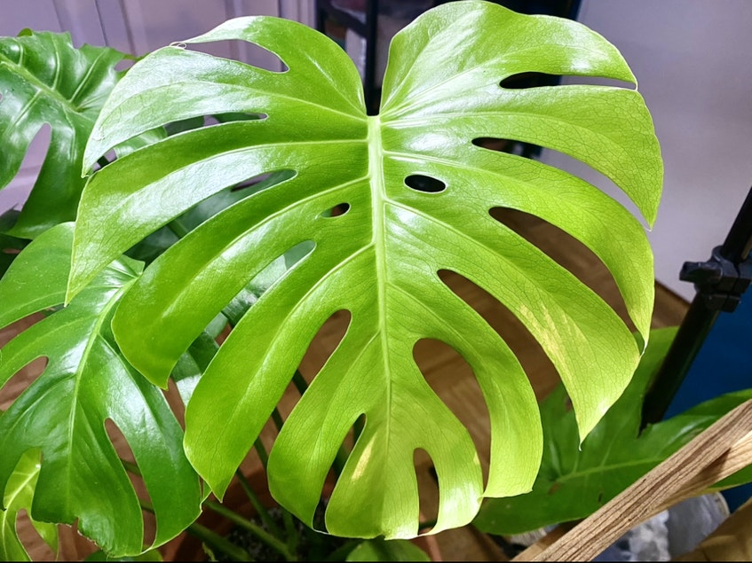 The newest leaf on one of Megan Barnes' favourite plants. - Contributed