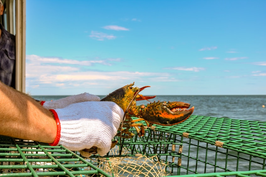 Nate Boone's father, Gil Boone, holds a lobster from one of their catches, outside New Waterford harbour. JESSICA SMITH • CAPE BRETON POST