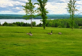 Randy Lucas sent this photo of a gaggle of golfing geese from Seaview Golf and Country Club in North Sydney, N.S. He calls it, Fore! since it's a photo of four geese on hole Number 4! I wonder which one ended up in the rough and if they will be allowed to play through?