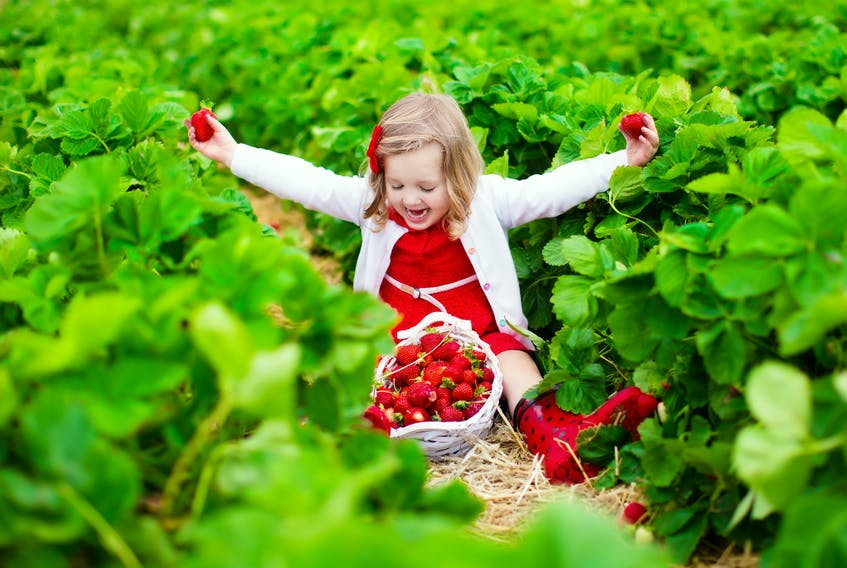 It's almost strawberry season in Atlantic Canada, and local producers are expecting to have berries available a little earlier than usual.