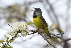 The normally shy mourning warbler — overcome by its passion for singing — perches in the open to deliver its song.