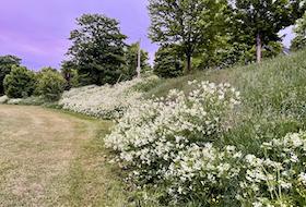 Unmowed green space on Rennie's Mill Road.