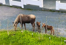 This female moose has been bringing her calves around Dave Keats' home in St. Anthony for the last decade.