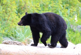 A stock photo of a black bear. Truro Police Services said they have recieved multiple reports of a black bear in the Truro area. Anyone that sees the bear is asked to stay away and give it space.