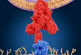 The spike protein (red) mediates the coronavirus entry into host cells. It binds to the angiotensin converting enzyme 2 (blue) through its S1 subunit and then fuses viral and host membranes through the S2 subunits.