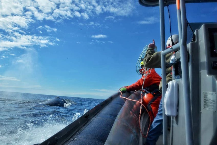 On May 11, the Campobello Whale Rescue Team assisted a right whale named Snowcone that was seen entangled in Cape Cod Bay in the Gulf of St. Lawrence, off Shippagan NB.   Photo courtesy of Canadian Whale Institute/CWRT