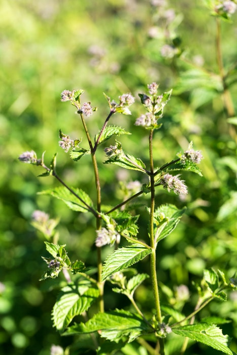 Mint is a natural insect repellant - planting it around your deck will significantly decrease the number of mosquitos you see. As a bonus, bees also appreciate mint when it flowers.  - RF Stock