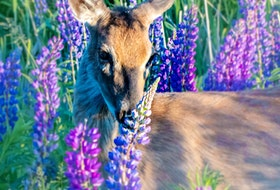 """Kate Messer of Truro spotted this beautiful doe hiding in the lupins. She described what she saw, """"The sun was setting, creating a lovely warm light. As a photographer it was pretty much a dream shot!"""" A dream shot indeed."""