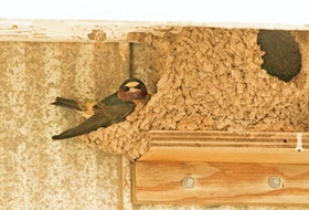 A nest made by a cliff swallow with mud. An attached ledge helps stabilize it. - Ross Hall