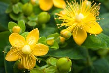 Around the time of the solstice, St. John's wort is considered a special plant because its bright yellow flowers look like the sun.