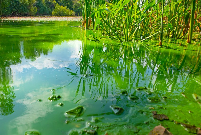 Blue-green algae on the surface of a lake. STOCK IMAGE