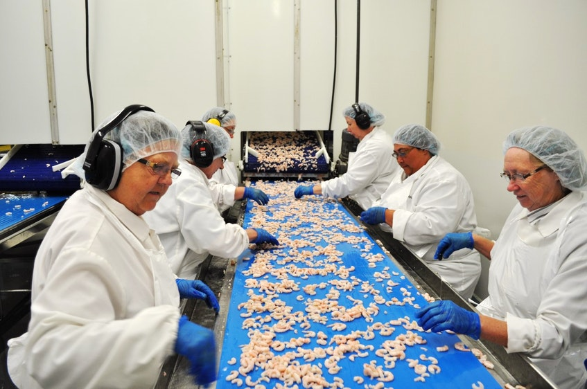 Workers process shrimp at a fish plant on Fogo Island, Newfoundland, during the 2019 season. - Contributed