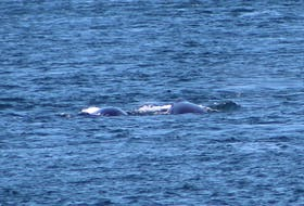 The mother right whale and calf side by side, first spotted by Shaunette Soper and Amy Tudor during a ferry crossing between Brier Island and Long Island on Digby Neck. AMY TUDOR PHOTO