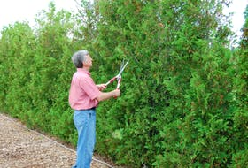 As Mark Cullen demonstrates, evergreens and shrubs are in need of a trimming by this time in the year.