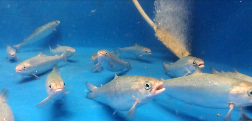 The salmon parr are taken to Dalhousie University's Aquatron Laboratory to be raised in captivity for about a year and a half, then released back into Clyburn Brook. PARKS CANADA - Contributed