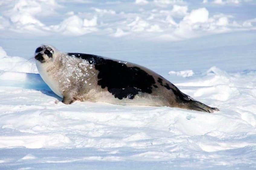 An adult harp seal. The latest data from Fisheries and Oceans puts the population at about seven million, based on 2017 research. - DFO photo