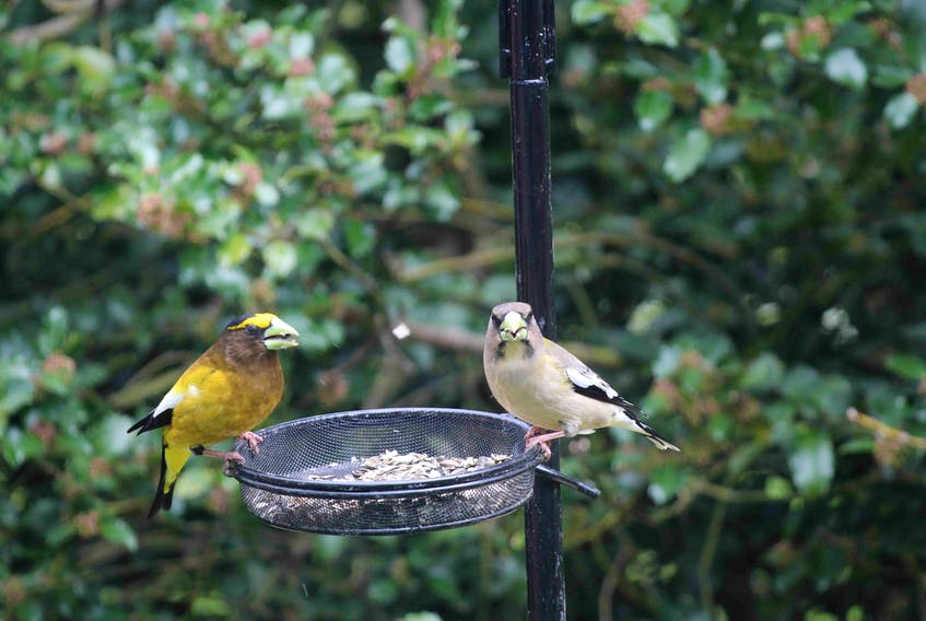 Gerald and Marjorie Zwicker of Auburndale, N.S. had some 'visitors' for lunch recently - a  lovely pair of Grosbeaks. Marjorie said she often wondered how they got their names, but when she looked at the photo she took she immediately knew why: their beaks are very large. Grosbeaks visit feeders often to eat sunflower seeds as well as safflower seeds and raw peanuts.