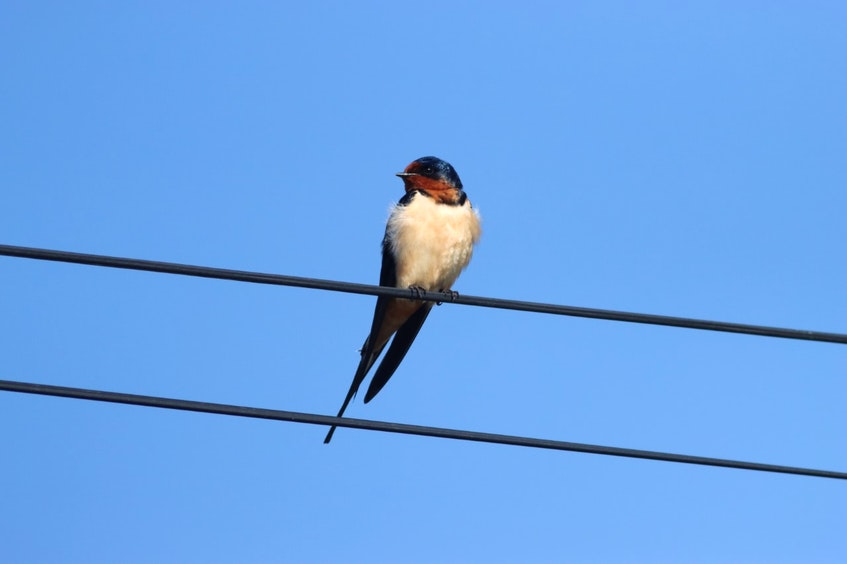 There is a nesting colony of Barn Swallows at Hartlen Point. - Photo  submitted