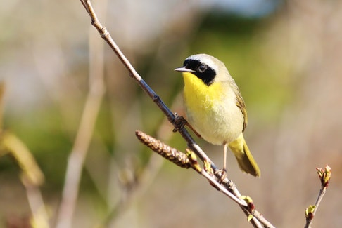 The Common Yellowthroat can be spotted at Hartlen Point.