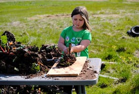 Charlotte Johnson, eight, helps at the family farm by dividing rhubarb roots.