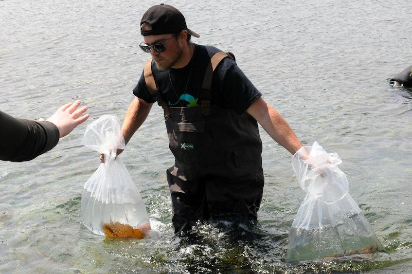 Petty Harbour Mini-Aquarium's animal care co-ordinator Steven Lee walks back to shore with two backs of marine specimens gathered by divers Katy MacPherson and Doug Copp.  -Joe Gibbons/The Telegram - Joseph Gibbons