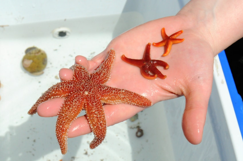 Shown are some of the various starfish species collected  by scuba divers for the Petty Harbour Mini-Aquarium.   -Joe Gibbons/The Telegram  - Joseph Gibbons