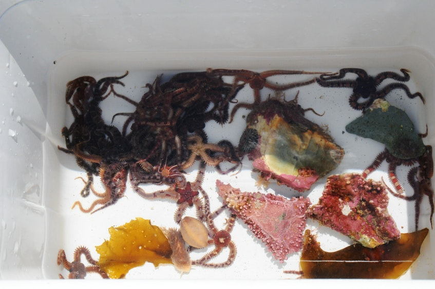 A collection of marine specimens collected over the weekend that will be featured for the summer season at the Petty Harbour Mini-Aquarium. The aquarium opens June 12. Speciments will be returned to the ocean when the seasons closes in September. -Joe Gibbons/The Telegram - Joseph Gibbons