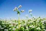 Wild buckwheat could be a casualty of environmental corporatism in some areas. 123rf stock photo