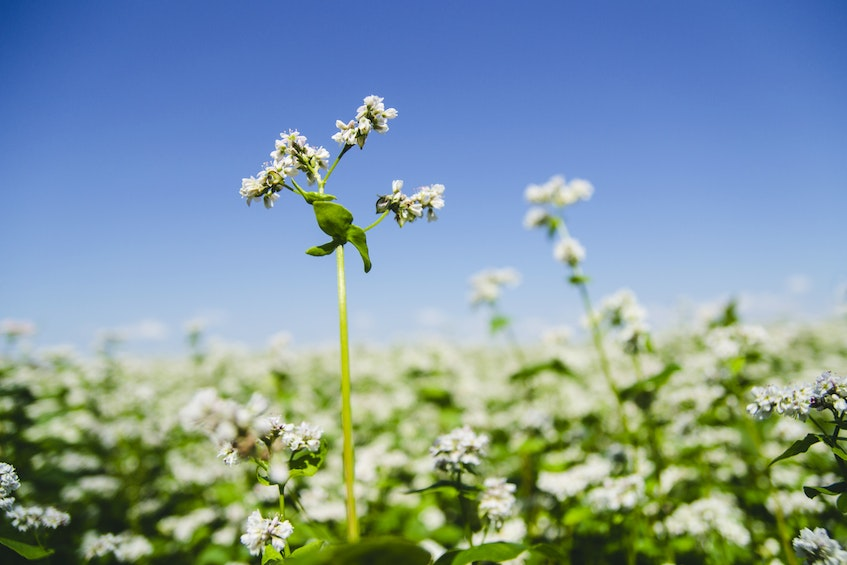 Wild buckwheat could be a casualty of environmental corporatism in some areas. 123rf stock photo - POSTMEDIA
