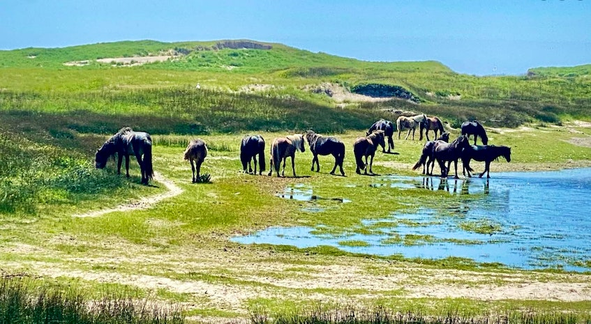 Sydney-based Breton Air is now offering charter helicopter flights to Sable Island where passengers will come face to face with the hundreds of feral horses that inhabit the long, thin, crescent-shaped stretch of sandbar that is located 161 km from the nearest landfall at Canso, Nova Scotia. CONTRIBUTED - David Jala