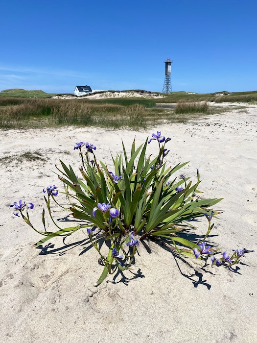 A view of the flora on Sable Island with some of the island's sand dunes and infrastructure visible in the background. CONTRIBUTED - David Jala