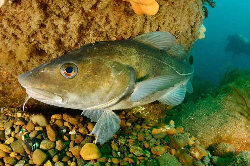 Fisheries and Oceans Canada announced a cod quota that increases from 12,350 to 12,999 tonnes. Contributed - Contributed