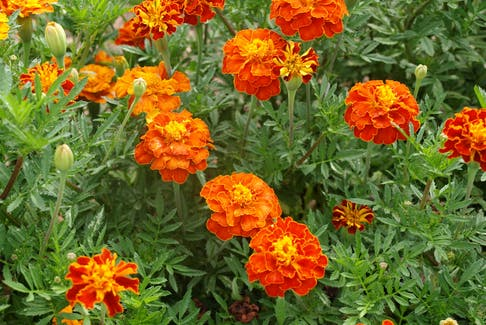 I like marigolds, but they are probably not a popular choice for a wedding bouquet. Grandma Says perhaps they should be!