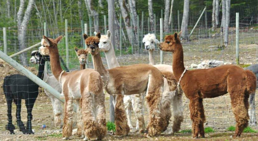 The herd at Albert Bridge alpacas is a bit larger now thanks to the recent birth of a baby, or cria, alpaca. Weighing in at 16 pounds, the newborn is male and has been named Odin. CONTRIBUTED