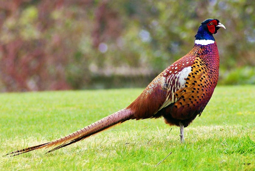 A ring-necked pheasant.
