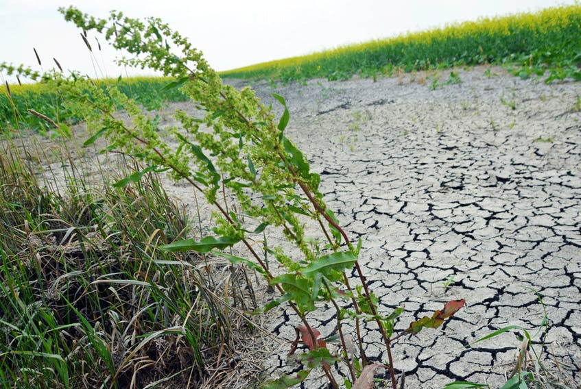 Extremely dry and cracked soil in a canola field on July 12 near Ile des Chenes, south of Winnipeg.
