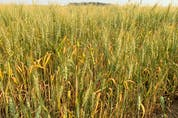 After a heat dome and another separate week of unseasonably warm weather, some crops are stunted and drying in the fields like this barley field south of Edmonton, on July 15.