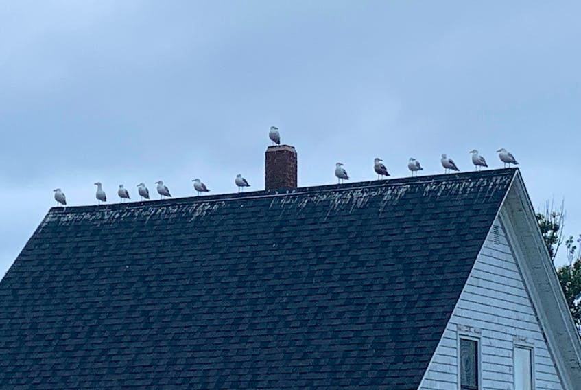 Fred Crouse of Wolfville, N.S. sent this photo of a group of seagulls perched on the rooftop of a home in Tiverton, Digby County, N.S. The 14 birds appear quite comfortable sitting at the top of the house enjoying the view. Judging by the droppings on the roof, it looks like it's a popular hangout for the birds. Makes one wonder if it would help to place a no loitering sign there?