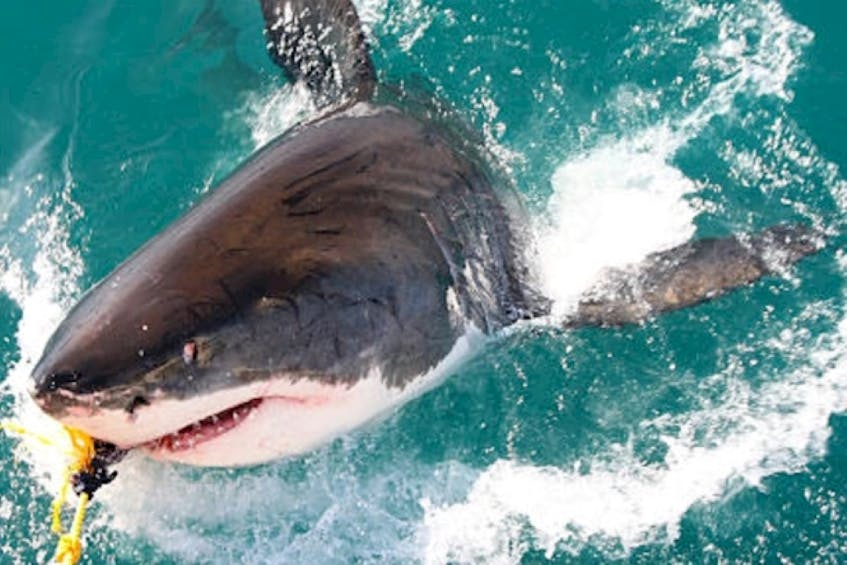 Want to get up close and personal with a shark? Sharkbite Adventures in Nova Scotia has a trip designed for true thrill-seekers that includes tagging a shark. - Sharkbite Adventures photo - Saltwire network